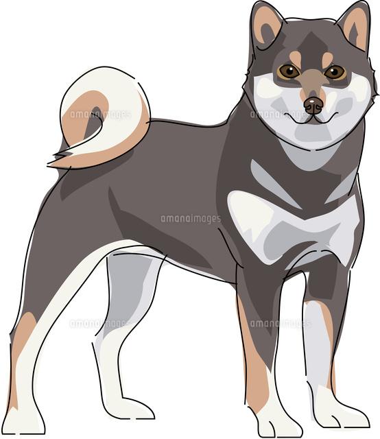 犬 柴犬 黒11002068624の写真素材イラスト素材アマナイメージズ