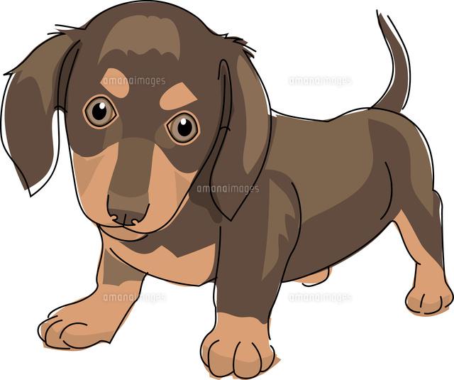 犬 ミニチュアダックスフント11002068638の写真素材イラスト素材