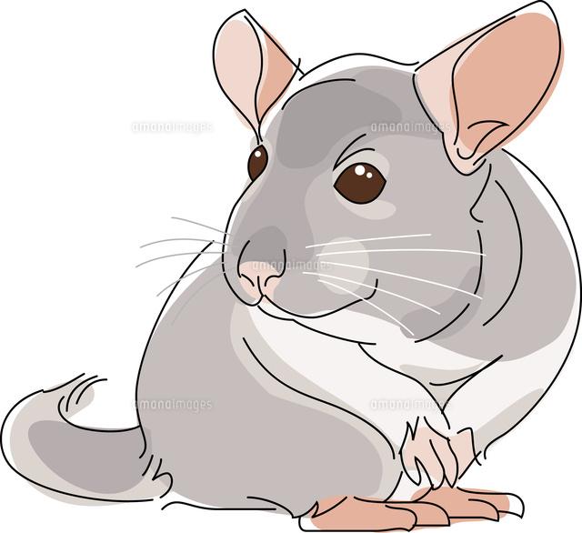 小動物 チンチラ11002068668の写真素材イラスト素材アマナイメージズ
