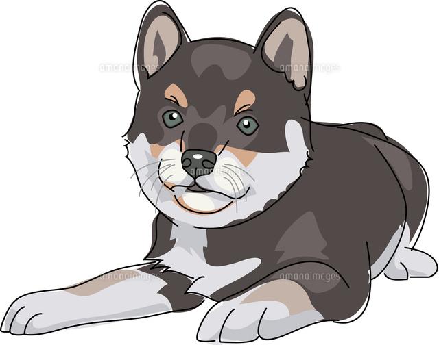 犬 柴犬 黒11002068676の写真素材イラスト素材アマナイメージズ