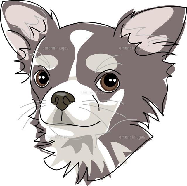 犬 チワワ11002068680の写真素材イラスト素材アマナイメージズ