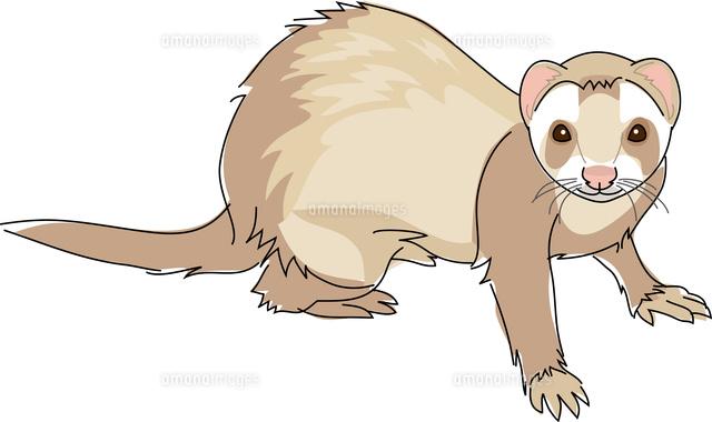 小動物 フェレット11002068714の写真素材イラスト素材アマナイメージズ