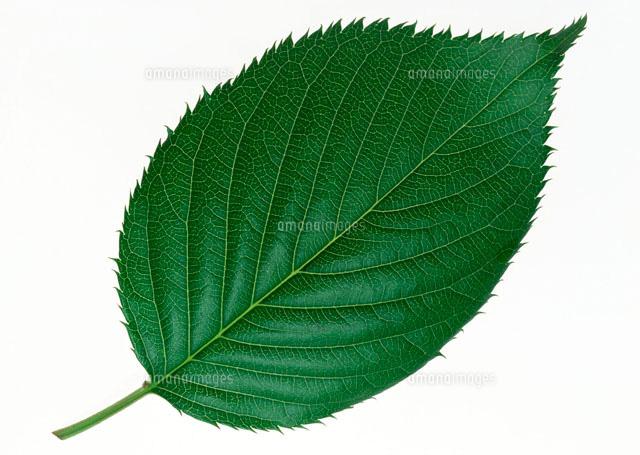 サクラの葉[11007002436]の写真...