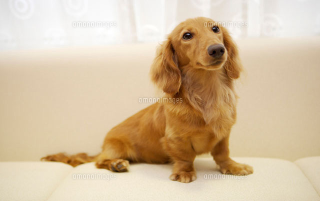 Portrait of Miniature Duchshund sitting