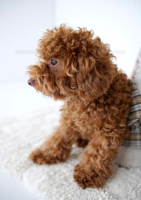 Close up of Toy Poodle sitting