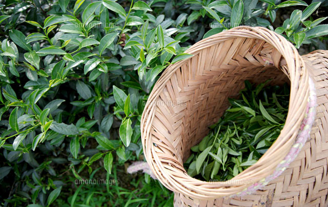 Tea bushes and wicker basket