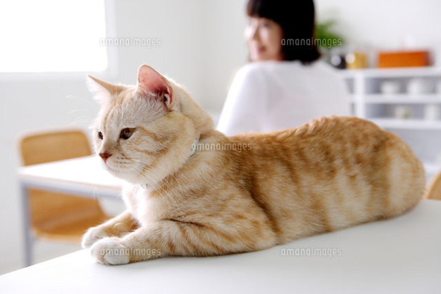 Close up of a american Shorthair lying