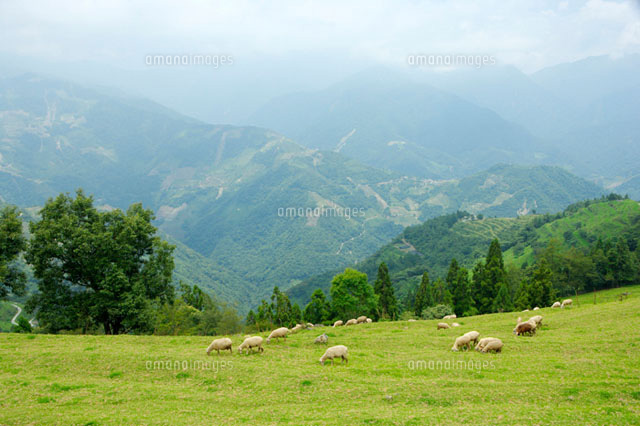 Sheep grazing in pasture
