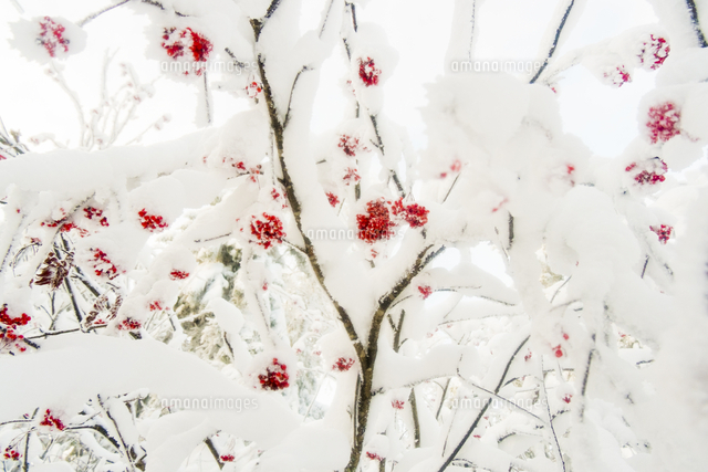 Red berries on snow covered branches