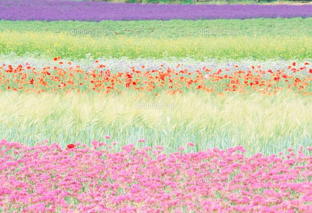 花畑11033000336の写真素材イラスト素材アマナイメージズ