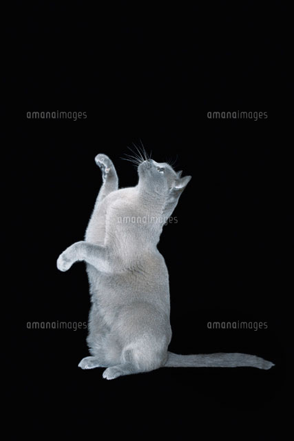 Blue Burmese cat sitting on hind legs