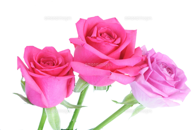 Close-up of pink rose on white background