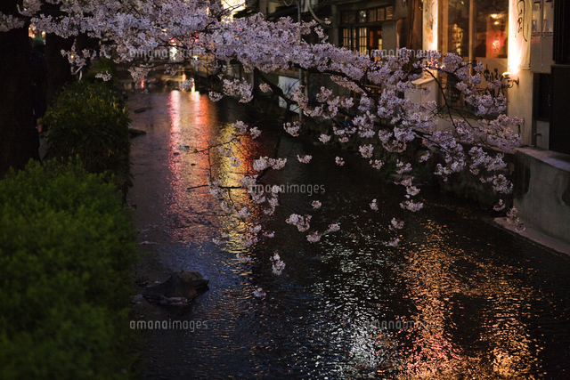 Cherry blossom hanging over water, Japan.