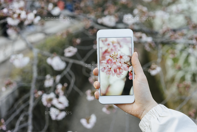Cropped image of woman photographing cherry blossoms through smart phone