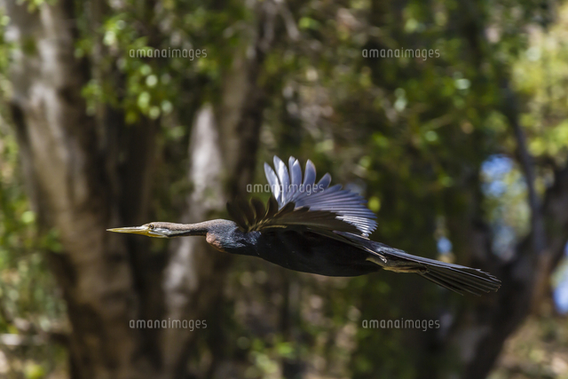 An Australian darter (Anhinga novaehollandiae) in flight on the Ord River, Kimberley, Western Austra
