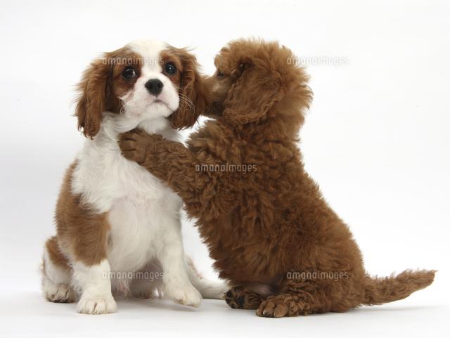キャバリアキングチャールズスパニエルの子犬11110001137の写真