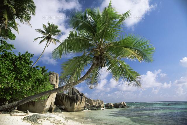 ココナッツヤシの木11110001985の写真素材イラスト素材アマナ