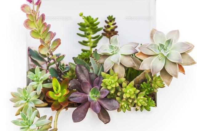 多肉植物28056003941の写真素材イラスト素材アマナイメージズ