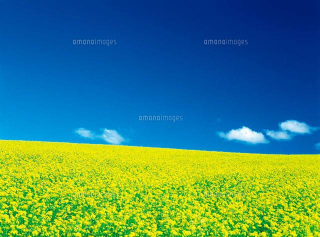 菜の花畑と青空28144048935の写真素材イラスト素材アマナ