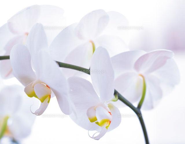 胡蝶蘭28144054624の写真素材イラスト素材アマナイメージズ