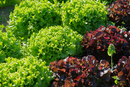 Lettuces growing in garden