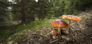 Close up of amanita mushrooms growing in forest