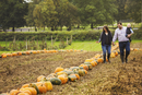 A family, two adults and a young baby among rows of bright yellow, green and orange pumpkins harvested and left out to dry off i