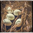 Eggs in straw nest