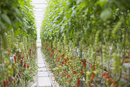 Tomato plants growing in a row in greenhouse