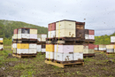 Stacks of beehives swarmed by bees