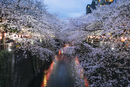 Cheery blossoms at Meguro river during dusk