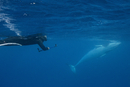 Adult dwarf minke whale (Balaenoptera acutorostrata), underwater with snorkeler near Ribbon 10 Reef, Great Barrier Reef, Queensl
