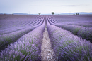 View Of Lavender Field Against Sky