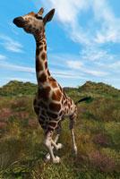 Giraffe 11015183934| 写真素材・ストックフォト・画像・イラスト素材|アマナイメージズ