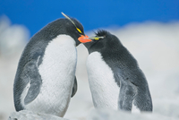 Two Rockhopper penguins (Eudyptes chrysocome chrysocome) in  11015235913| 写真素材・ストックフォト・画像・イラスト素材|アマナイメージズ