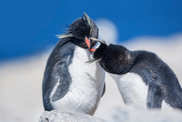 Two Rockhopper penguins (Eudyptes chrysocome chrysocome) in  11015235914| 写真素材・ストックフォト・画像・イラスト素材|アマナイメージズ