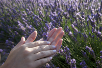 Close up of womans hands holding lavender flowers, Provence, France 11015249782| 写真素材・ストックフォト・画像・イラスト素材|アマナイメージズ