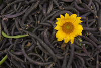 Pile of beans with yellow flower, close-up 11015253538| 写真素材・ストックフォト・画像・イラスト素材|アマナイメージズ