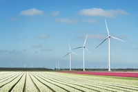 Rows of white and pink flower blooms and wind turbines, Zeewolde, Flevoland, Netherlands 11015254325| 写真素材・ストックフォト・画像・イラスト素材|アマナイメージズ