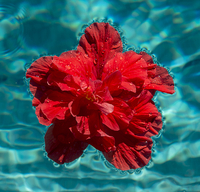 Red hibiscus flower floating in swimming pool 11015257997| 写真素材・ストックフォト・画像・イラスト素材|アマナイメージズ