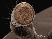 Coloured SEM of palp of grasshopper (Romalea sp)