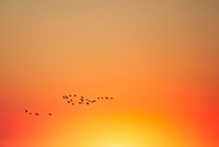 Silhouette of flock of birds in orange sky at sunset