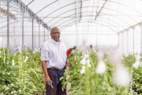 Portrait of manager inspecting young tomato plants in Hydroponic farm in Nevis, West Indies 11015287683| 写真素材・ストックフォト・画像・イラスト素材|アマナイメージズ