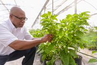 Manager inspecting bell pepper plant in Hydroponic farm in Nevis, West Indies 11015287692| 写真素材・ストックフォト・画像・イラスト素材|アマナイメージズ