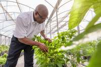 Manager inspecting bell pepper plant in Hydroponic farm in Nevis, West Indies 11015287693| 写真素材・ストックフォト・画像・イラスト素材|アマナイメージズ