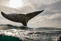 Humpback Whale calf playing on surface of ocean, Port St. Johns, South Africa 11015295030| 写真素材・ストックフォト・画像・イラスト素材|アマナイメージズ