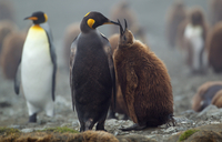 King Penguin with chick, Macquarie Island, Southern Ocean 11015324684| 写真素材・ストックフォト・画像・イラスト素材|アマナイメージズ