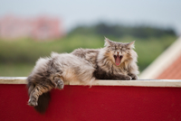 Norwegian forest cat yawning