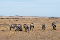 Herd of zebra (Equus quagga), grazing, Maasai Mara National Reserve, Rift Valley, Kenya, Africa 11015333383| 写真素材・ストックフォト・画像・イラスト素材|アマナイメージズ