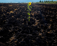 Single sunflower growing in cultivated land, Ural, Sverdlovsk, Russia, Europe 11015335252| 写真素材・ストックフォト・画像・イラスト素材|アマナイメージズ
